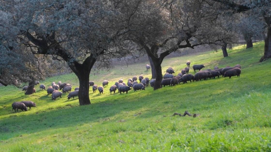 Imagen de ganado en las dehesas de Extremadura. CEDIDA.