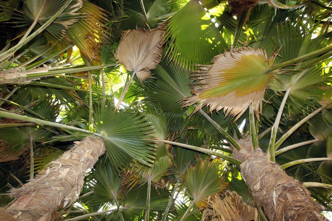LAS PALMAS DE GRAN CANARIA,Vista general de un pequeño bosque de la segunda generación de Pritchardia munroi, una especie de palmeras de origen hawaiano de las que solo quedan dos ejemplares en la naturaleza, que han salido adelante en el Jardín Botánico canario Viera y Clavijo, en Las Palmas de Gran Canaria, gracias a unas semillas enviadas a las islas hace tres décadas. EFE/Elvira Urquijo A.